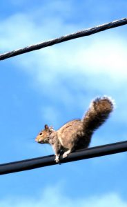 Squirrel on Power Line