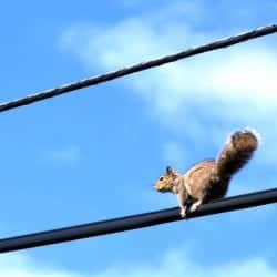 Squirrel pictured on power line